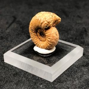 Ammonite Fossil A Grade